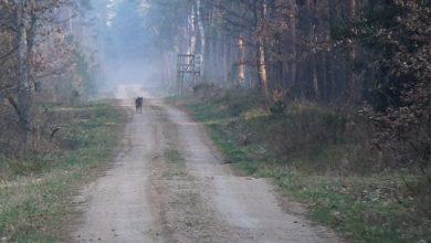 Photo of Coraz więcej wilków w nadleśnictwach naszego regionu