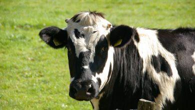 Photo of W Zawadach w gminie Lipowiec krowa wpadła do szamba
