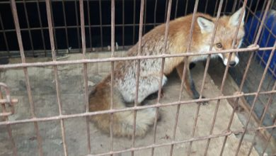 Photo of Do mławskiej placówki przyszedł… lis. Nietypowym petentem zajęła się straż miejska