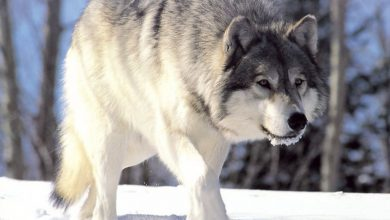 Photo of W lidzbarskich lasach zamieszkały wilki