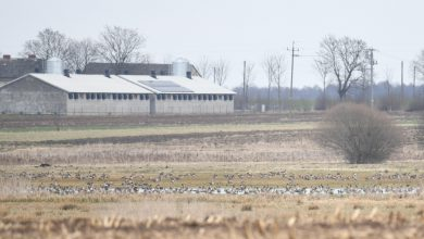 Photo of Nowe ogniska ptasiej grypy. 100 tys. kur do utylizacji w gminie Bieżuń. Pierwsze ognisko w powiecie mławskim