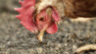 Photo of Szóste ognisko ptasiej grypy w powiecie żuromińskim